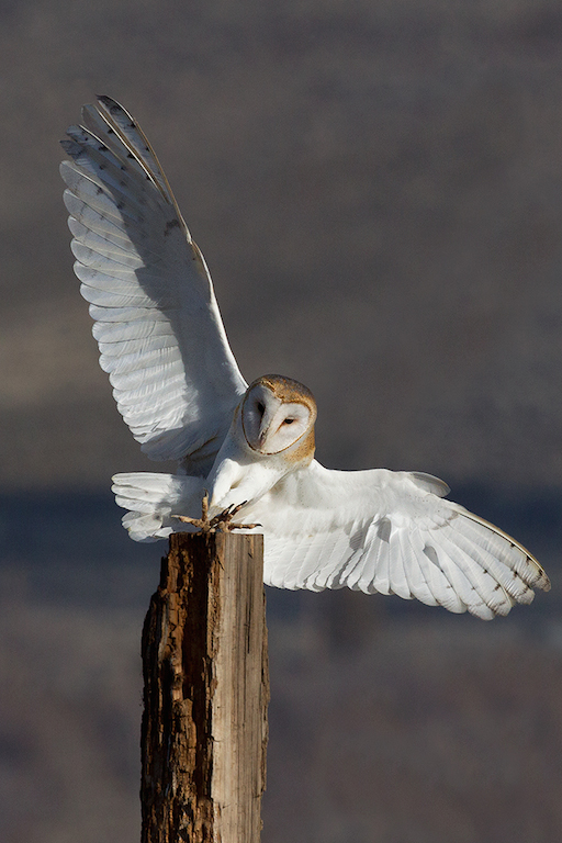"""Photograph: """"Barn Owl Landing"""" by David Wong; used with permission"""