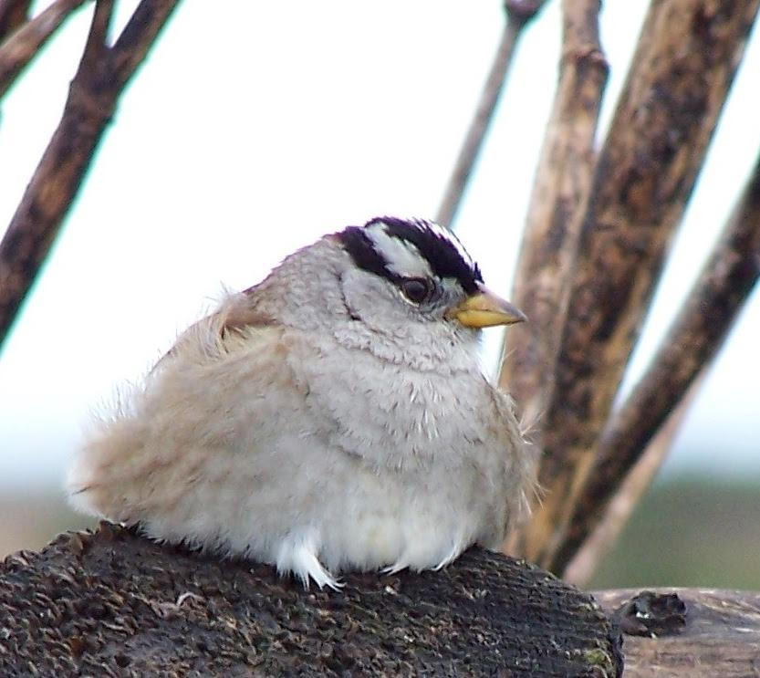White Crowned Sparrow; image credit: Lindsey Peterson