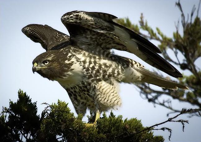 Red-tailed Hawk - by Beau Gill