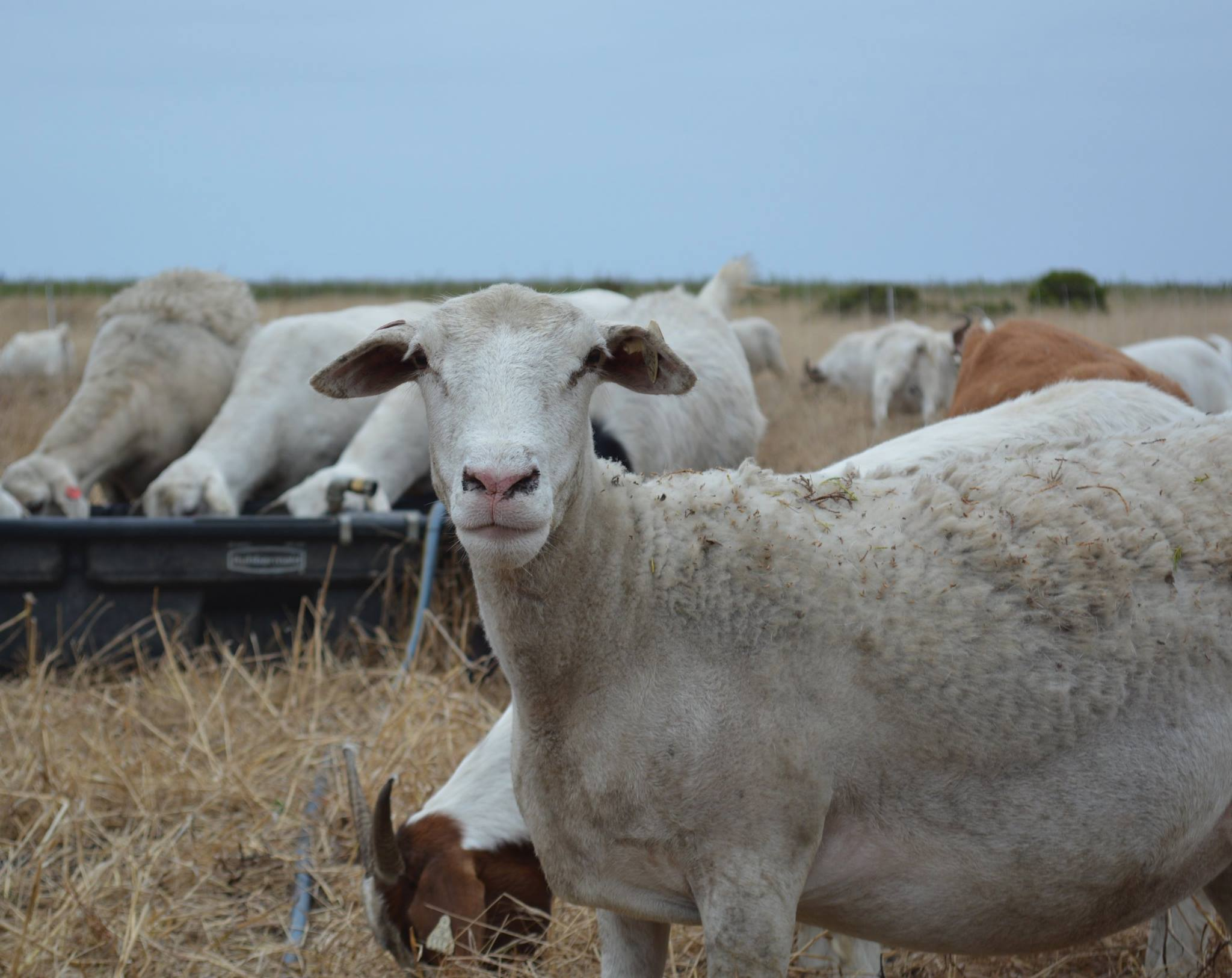 A restoration herd member from a previous year. A white sheep.