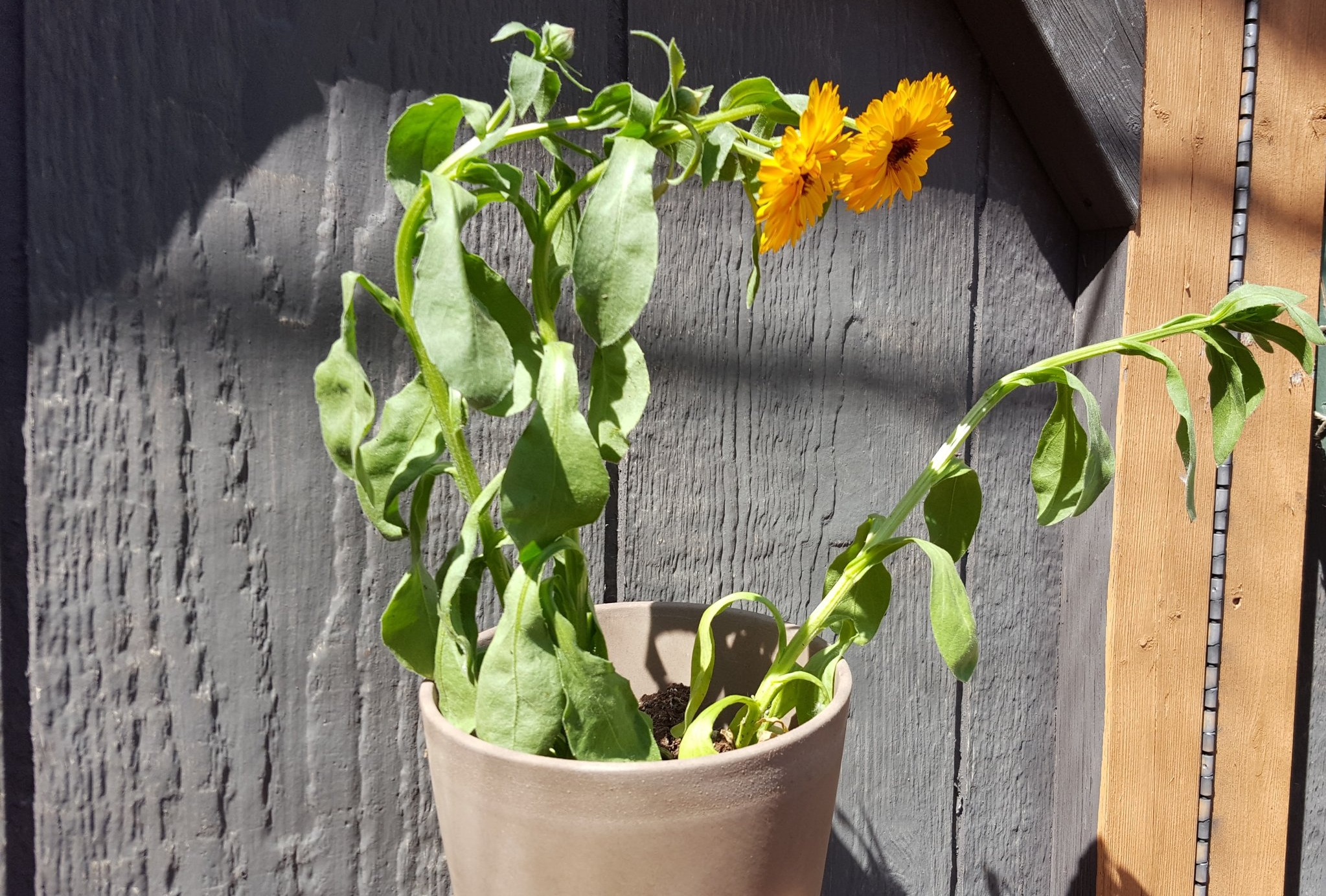Too dry! Don't let your annuals wilt.