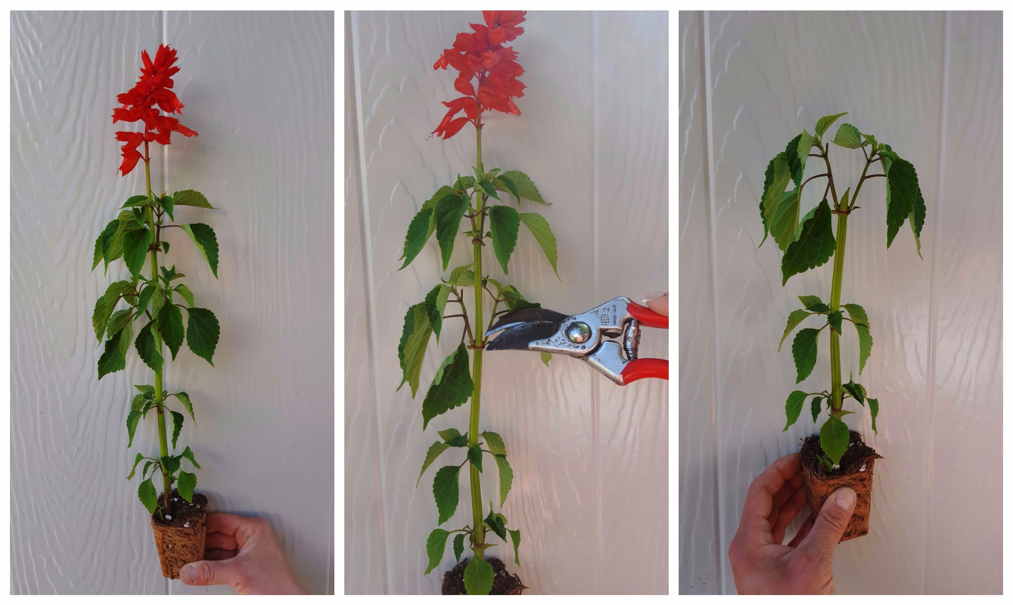 Pinching salvias makes them strong, bushy, and floriferous!