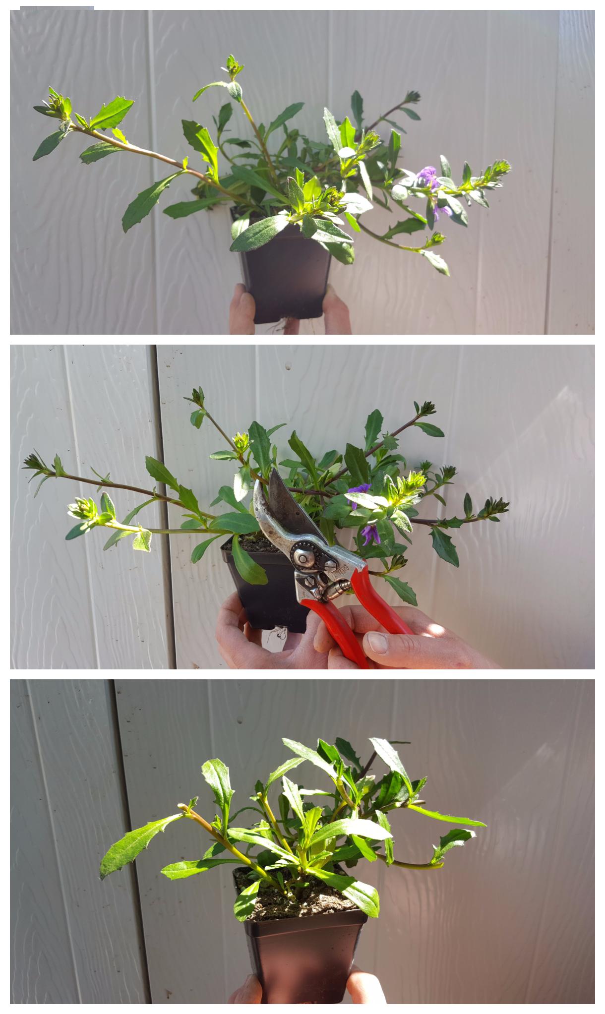 Cutting back scaveola promotes lush new growth.