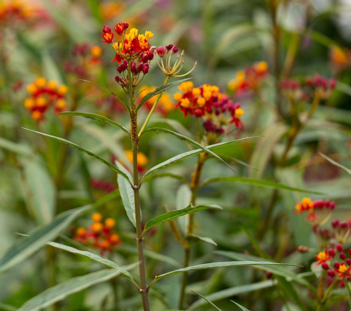 Aphids love the tender new growth on annual butterfly weed.