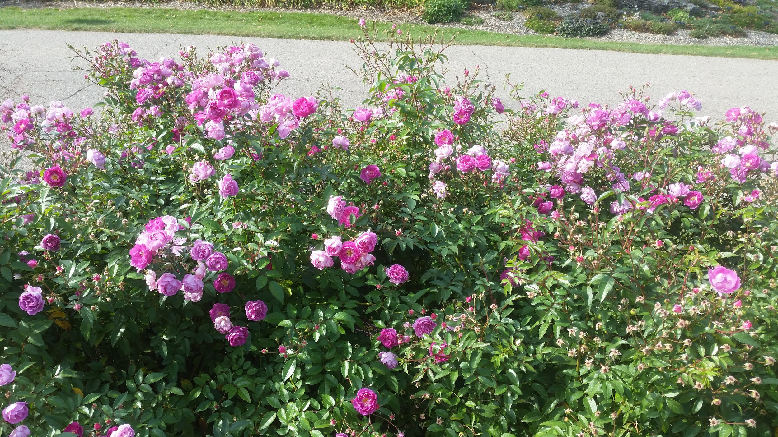 Rosa  'Northern Accents Sven' (a hardy shrub rose) puts on a riotous display of blooms at the MN Landscape Arboretum.
