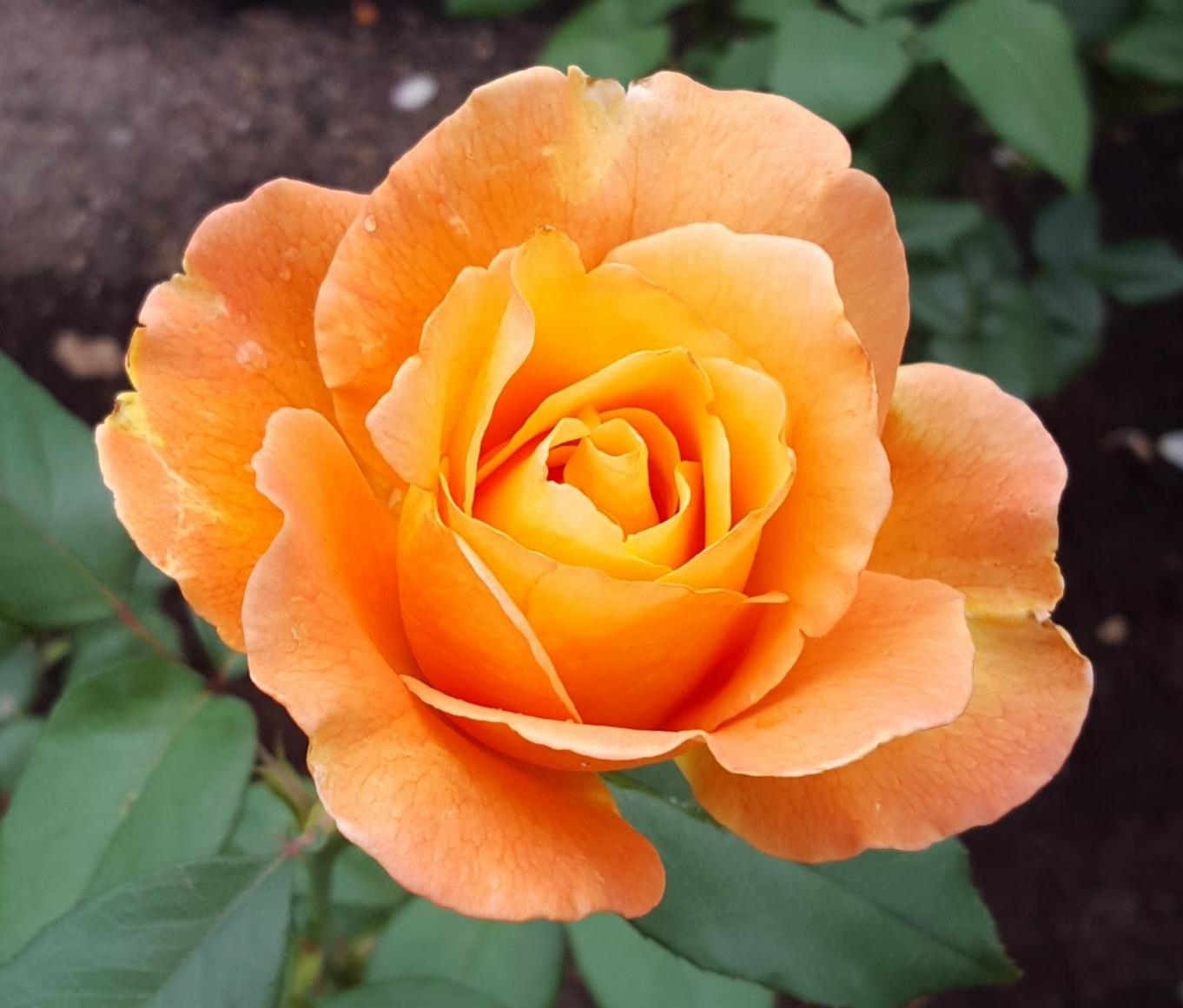 'Strike It Rich' hybrid tea rose