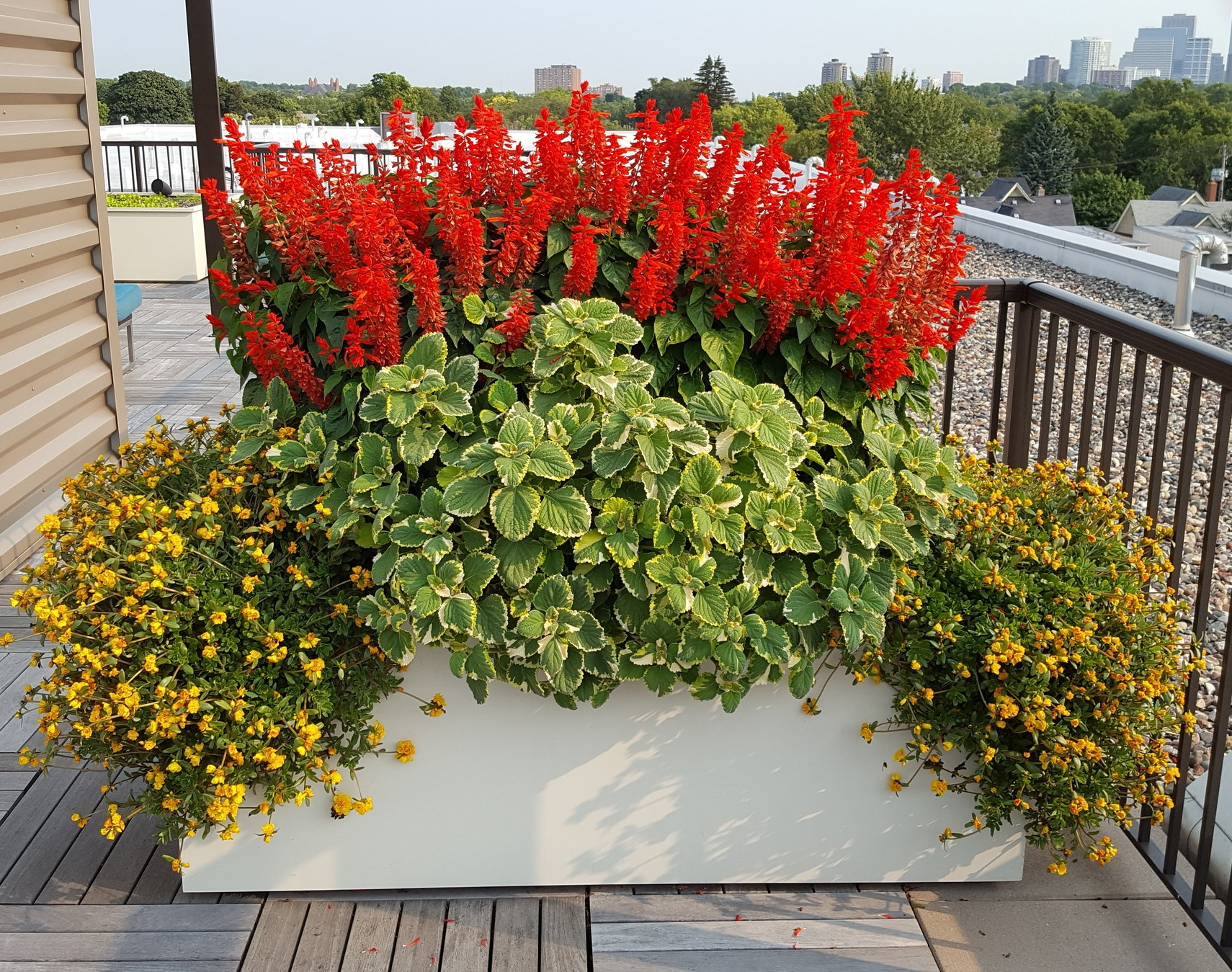 'Lighthouse Red' is tough and gorgeous in a rooftop planting.