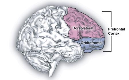 Prefrontal_cortex.png