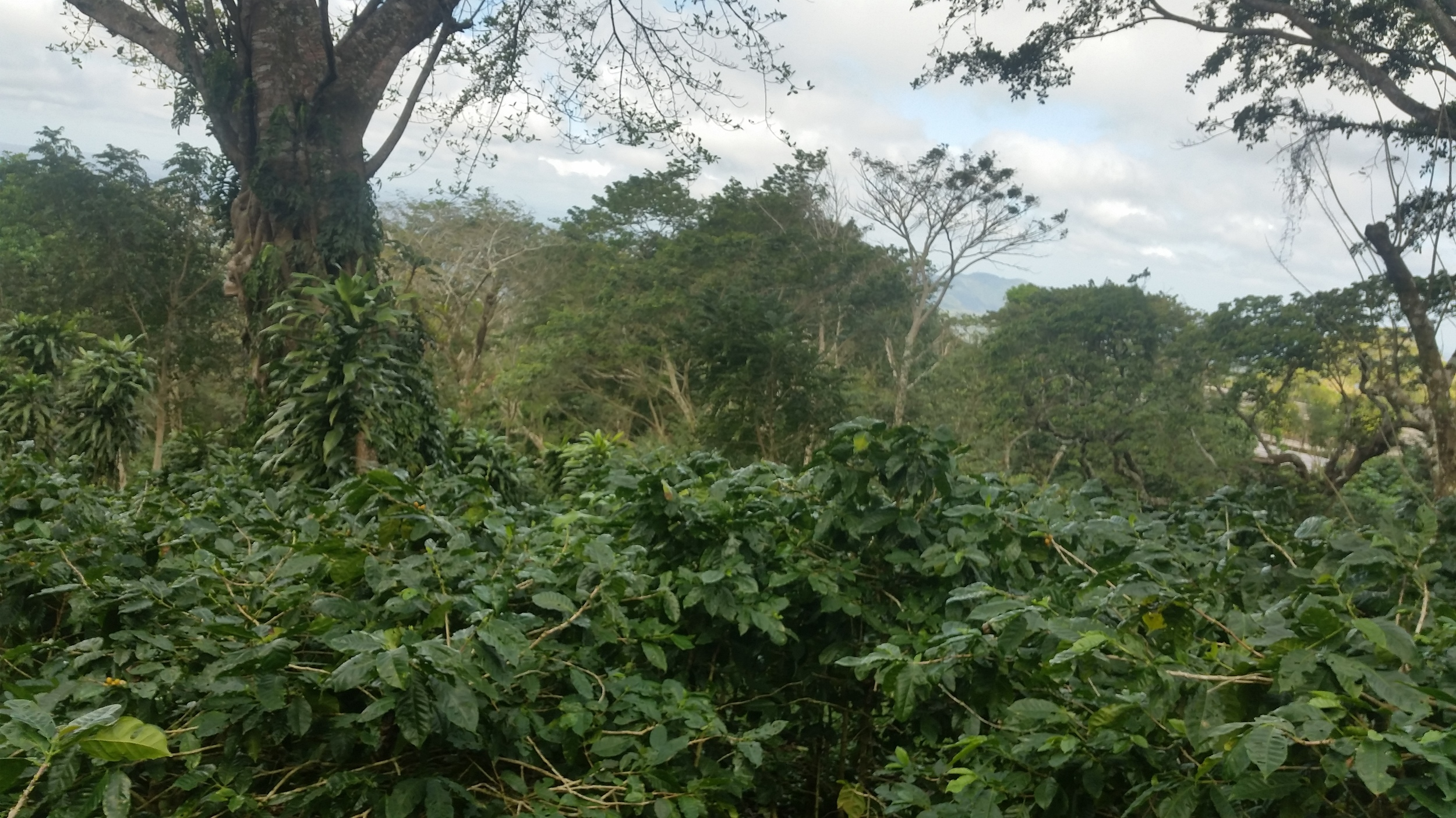 Coffee plants at Cafe las Flores, Mombacho, Nicaragua