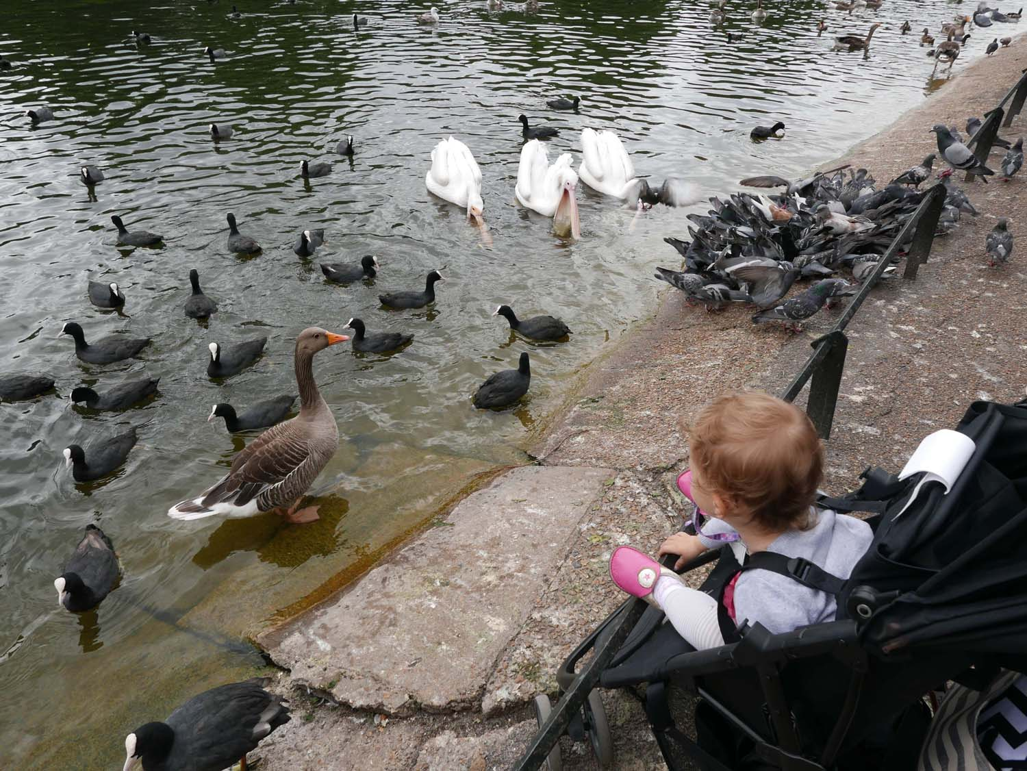 some of the water fowl of St. James Park