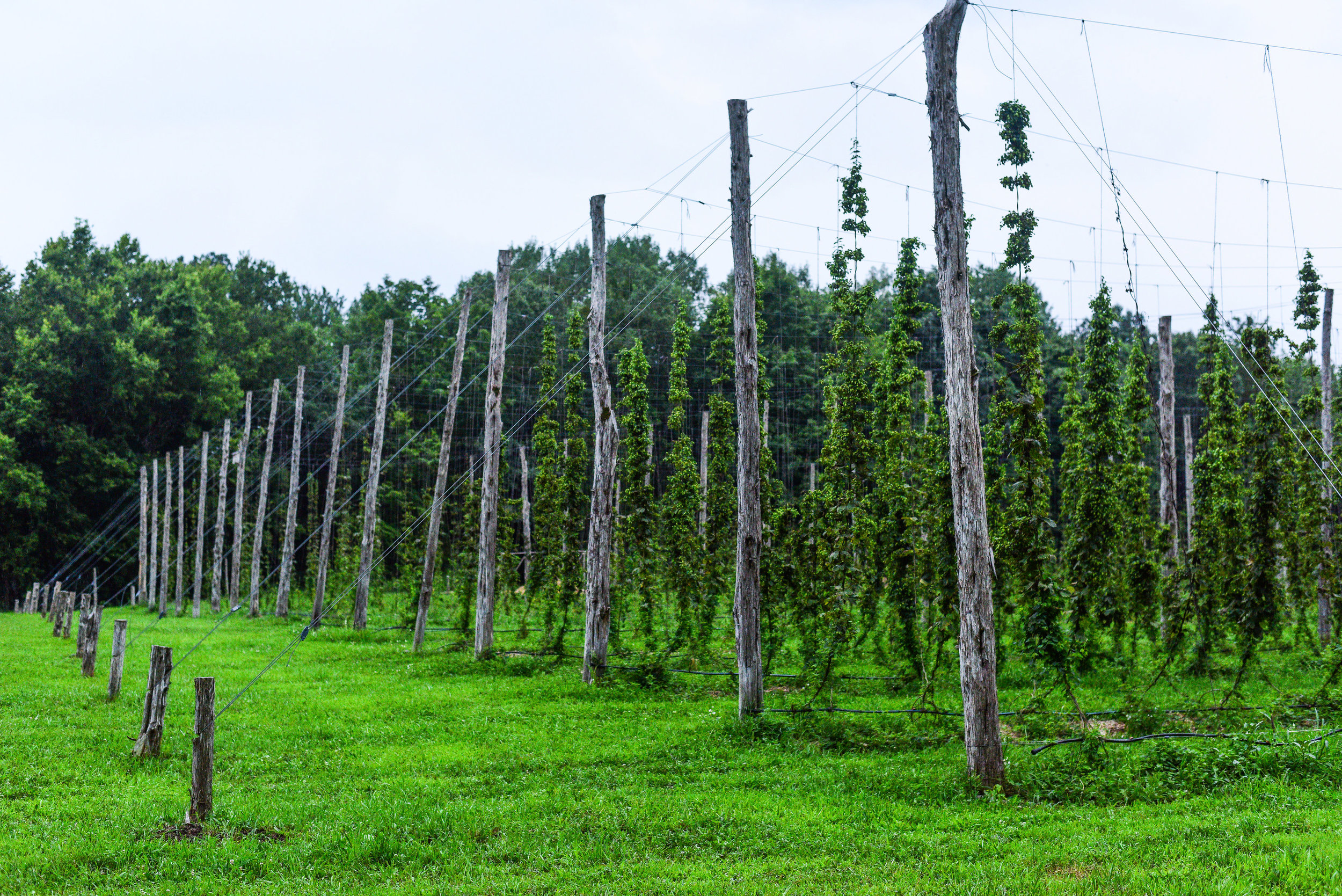 THE FARM - From our biggest pig to our littlest bee everything on our farm works together to create a mini ecosystem that supports our beer.Our Accord Tasting Room opens out onto the farm and you are able to walk through the hop yard and take in the farm while enjoying a cold one.