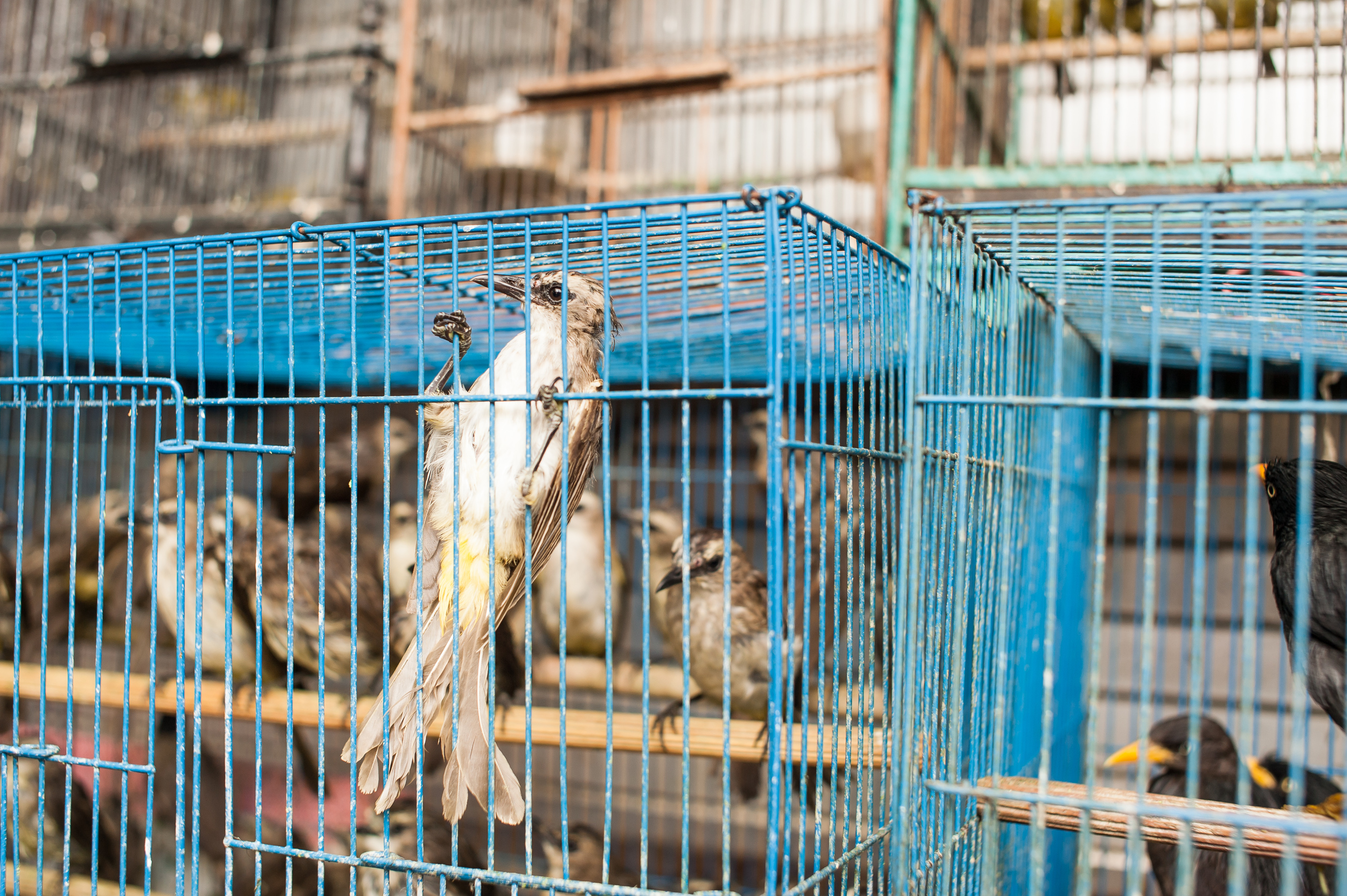 birds-in-a-cage-malang.jpg