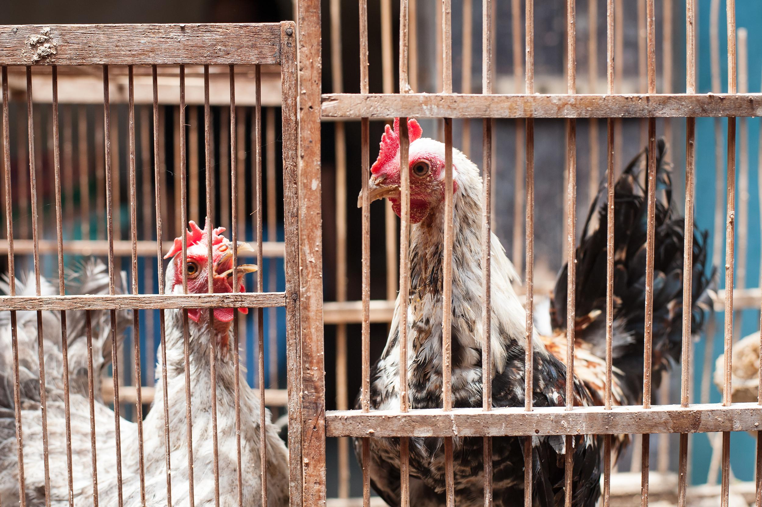 caged-chickens.jpg