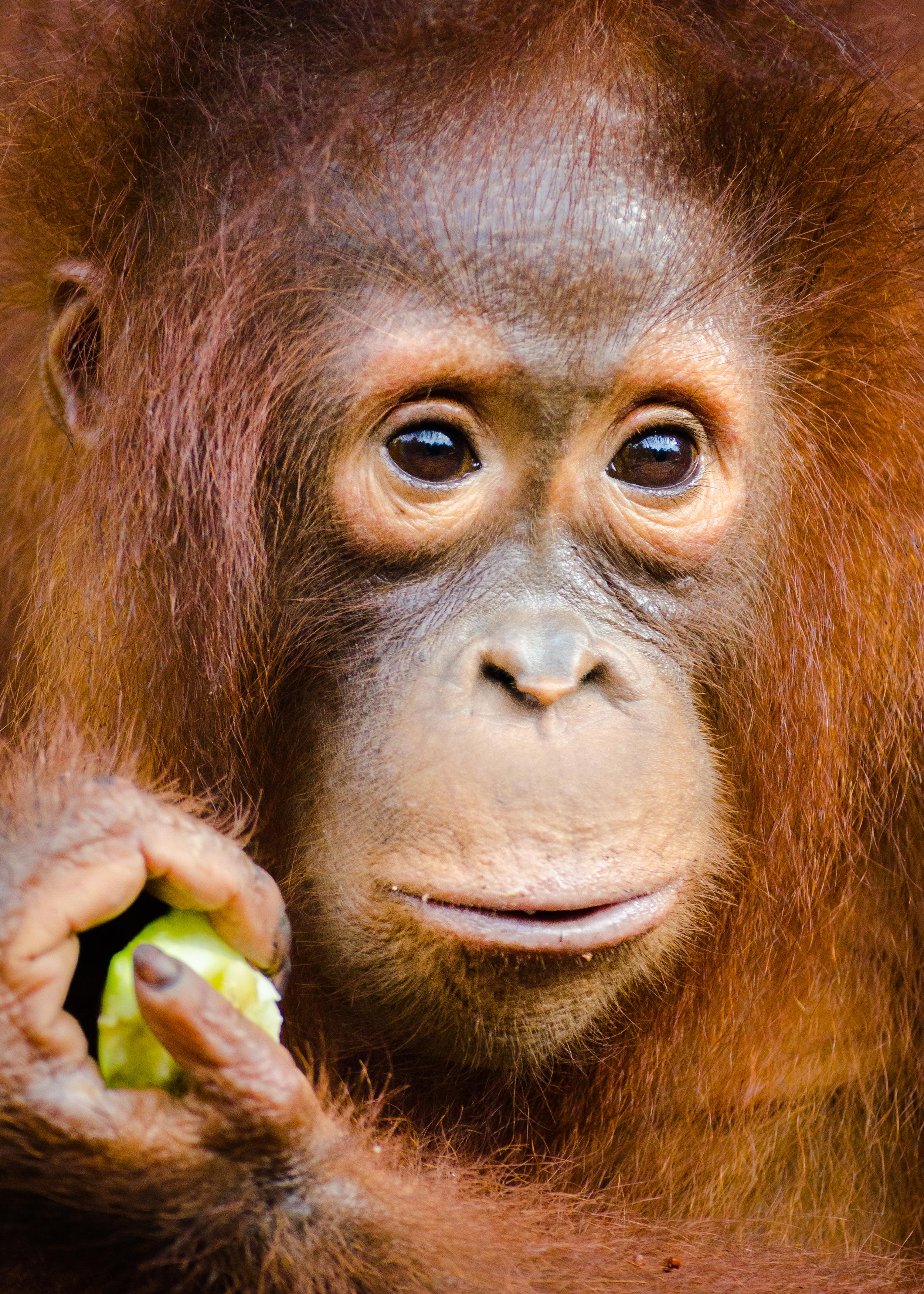 orang-utan-close-up.jpg
