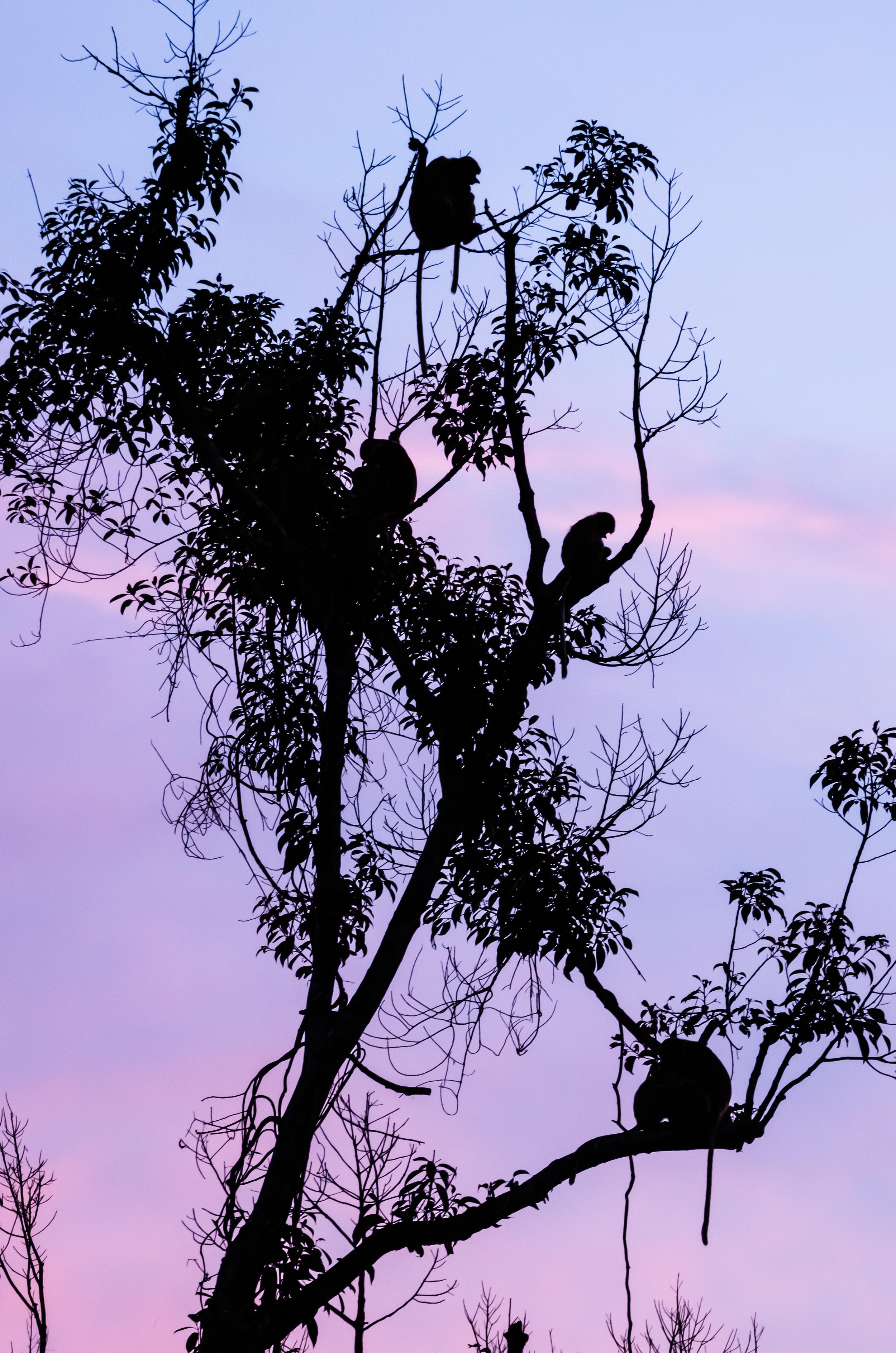 proboscis-in-tree.jpg
