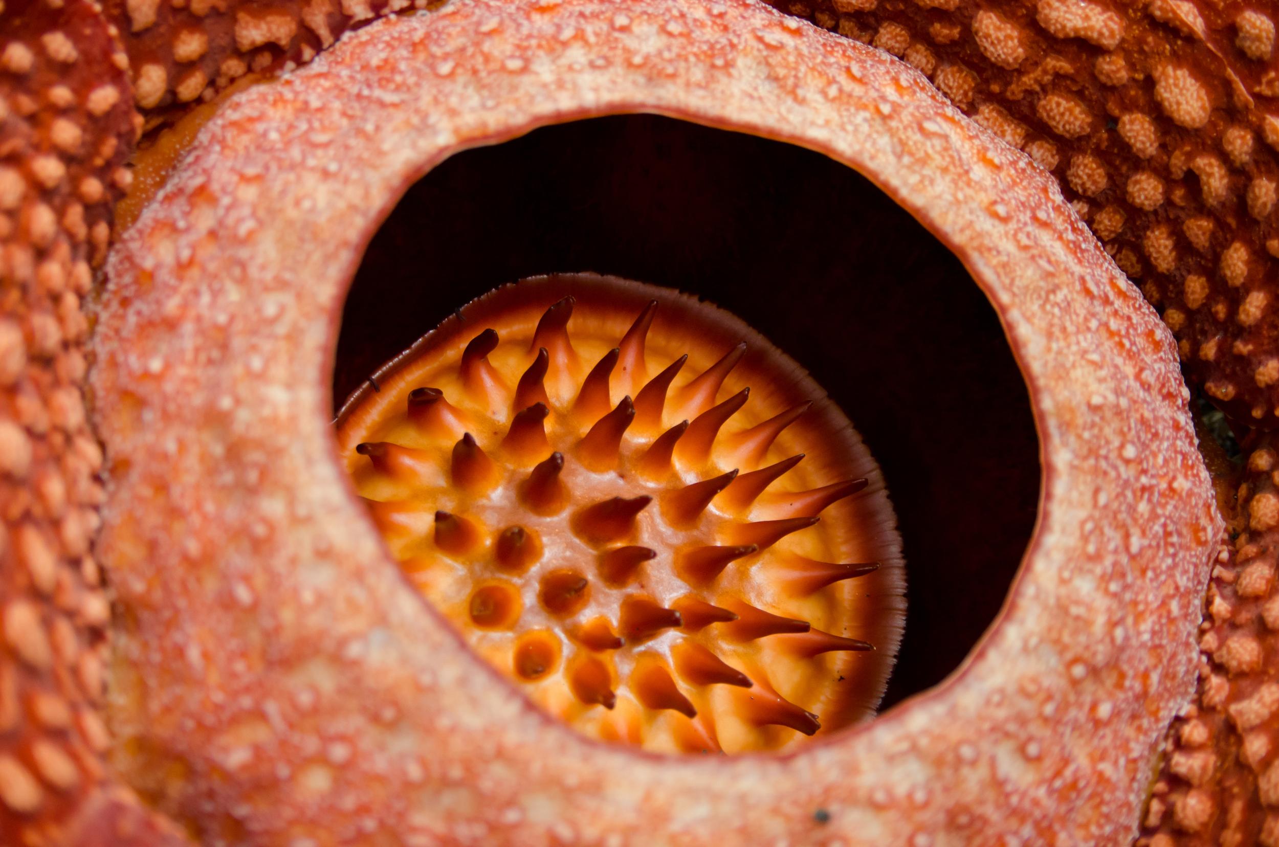 rafflesia-close-up.jpg