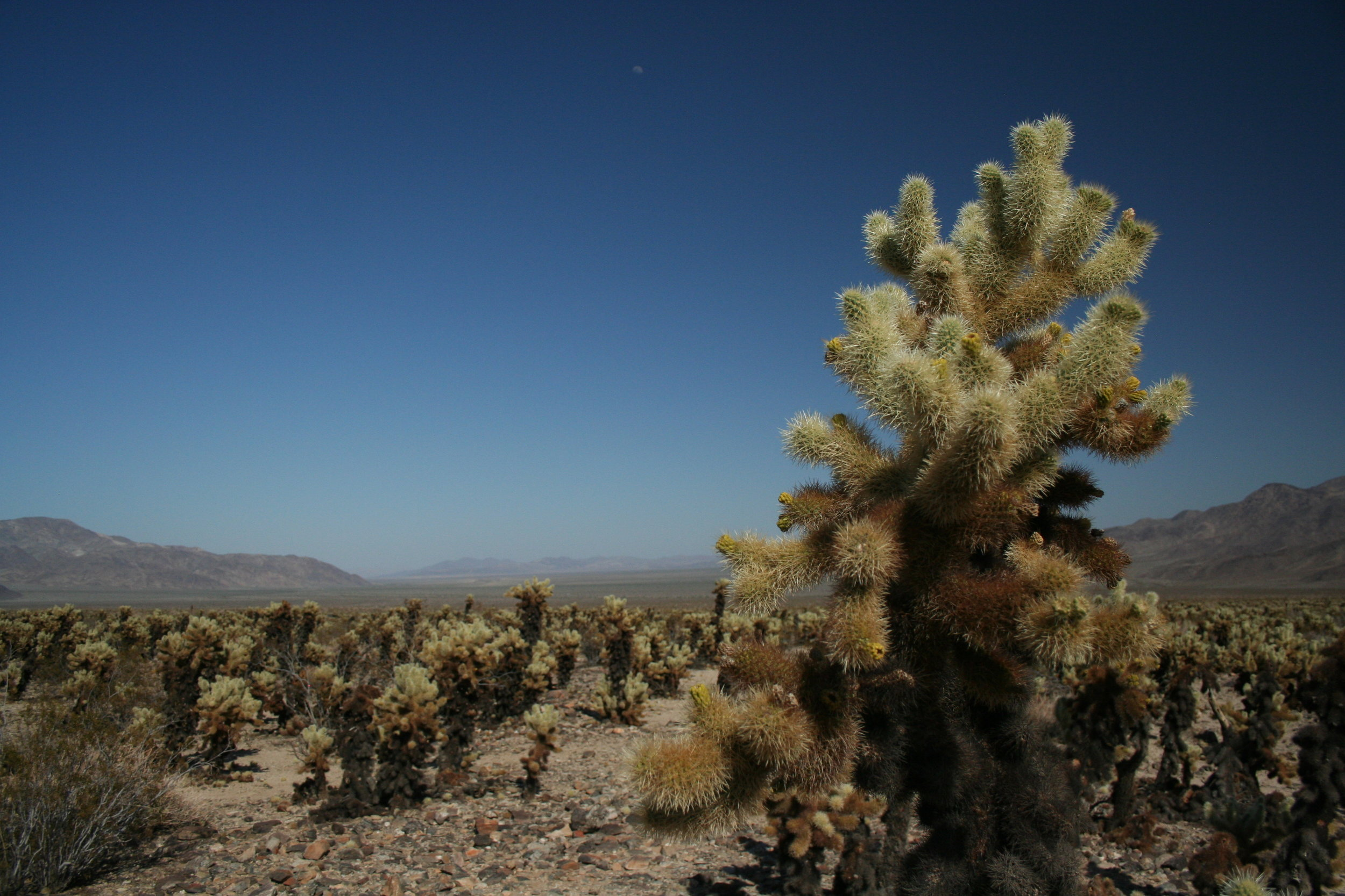 Cholla cacti in Joshua Tree National Park, a landscape unlike any this Midwestern native has ever seen.