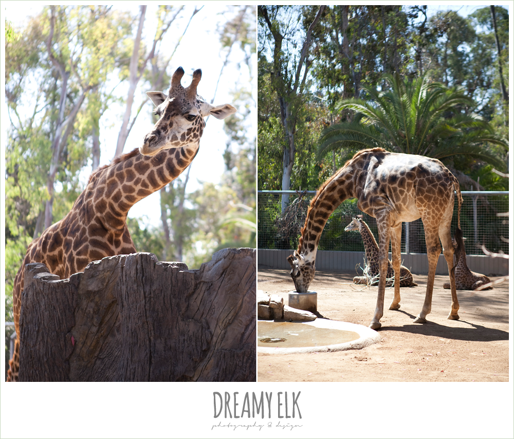 giraffes at san diego zoo