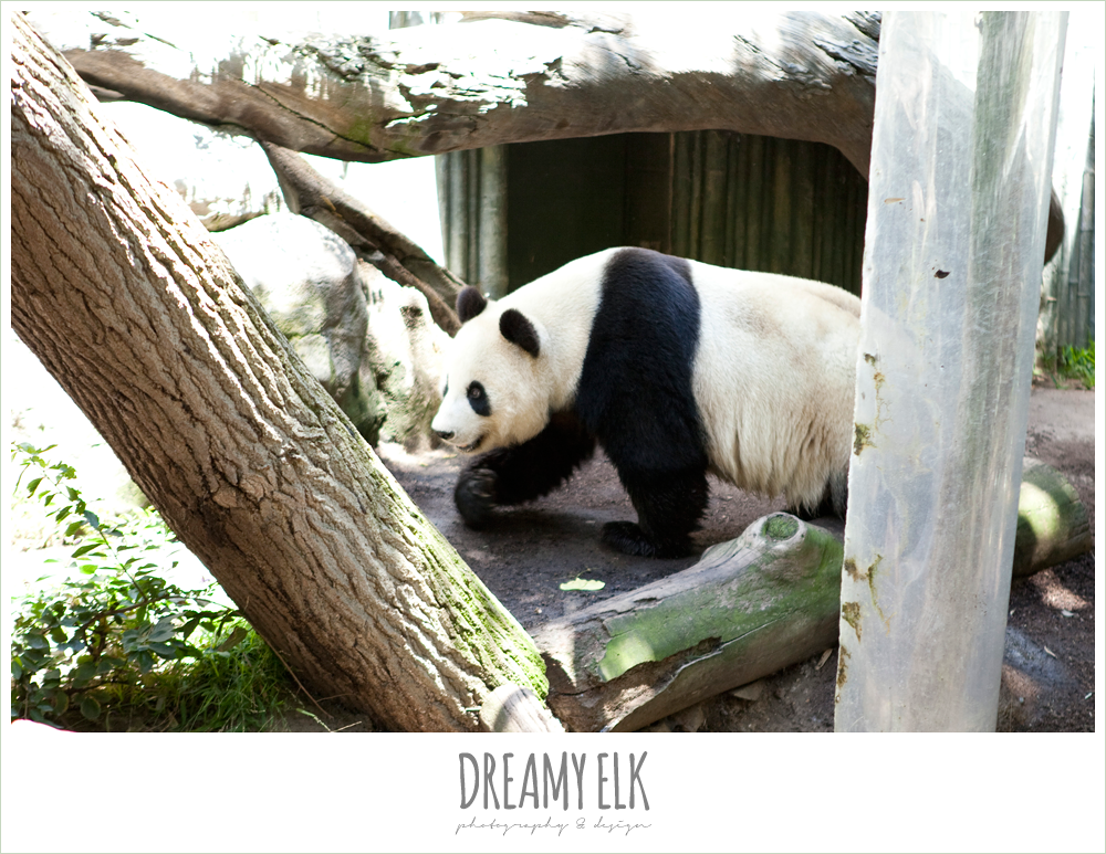 panda bears at san diego zoo
