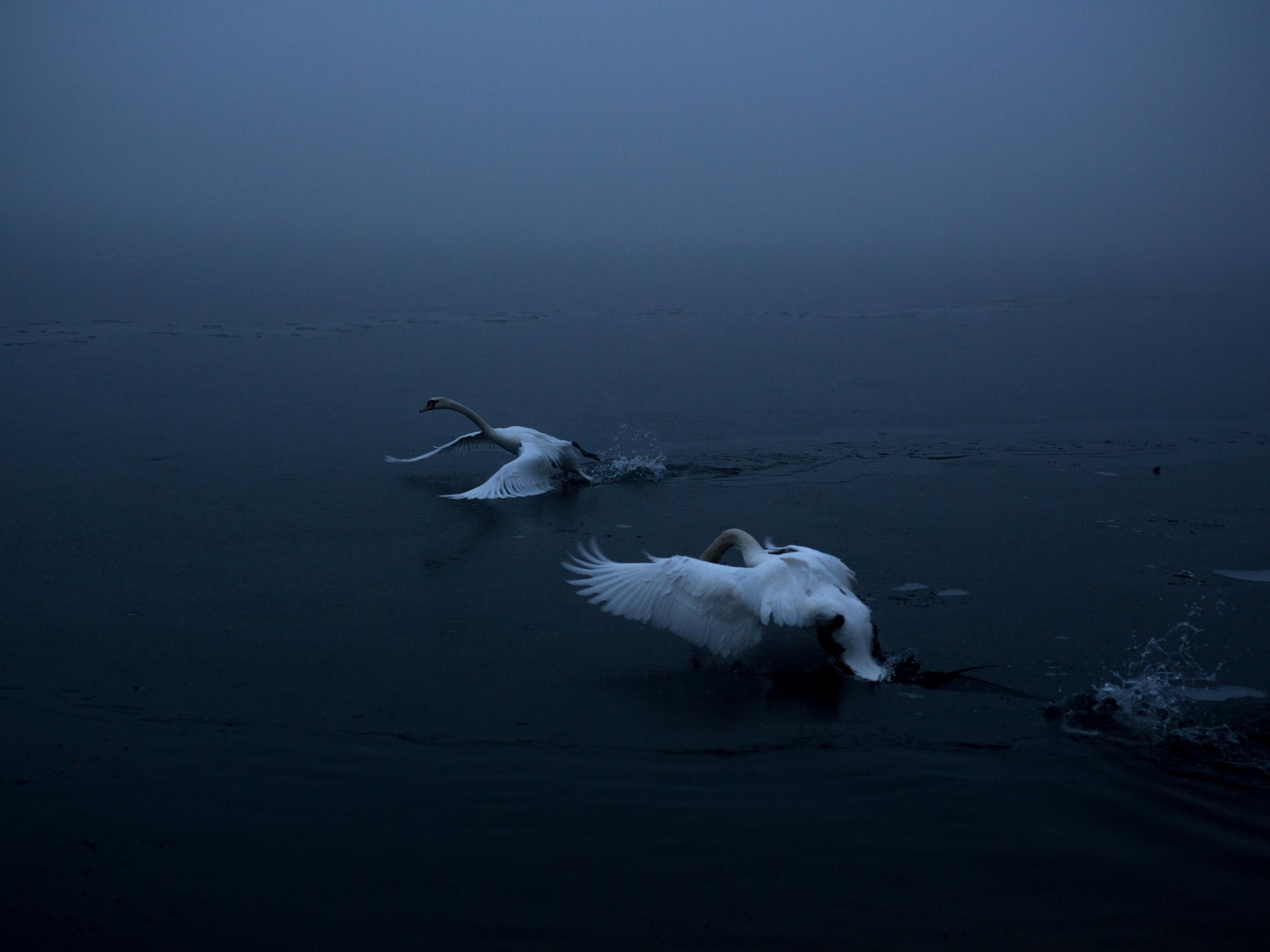 michaela-skovranova-swans-2222.jpg