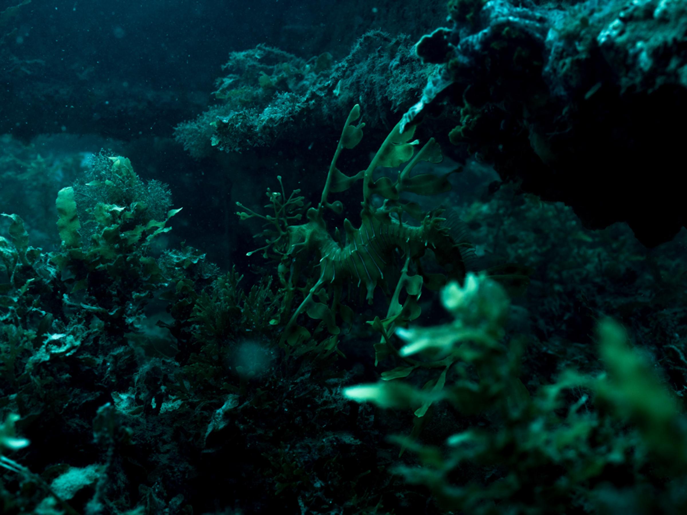 Leafy Sea Dragon - Rapid bay  Michaela Skovranova / Greenpeace