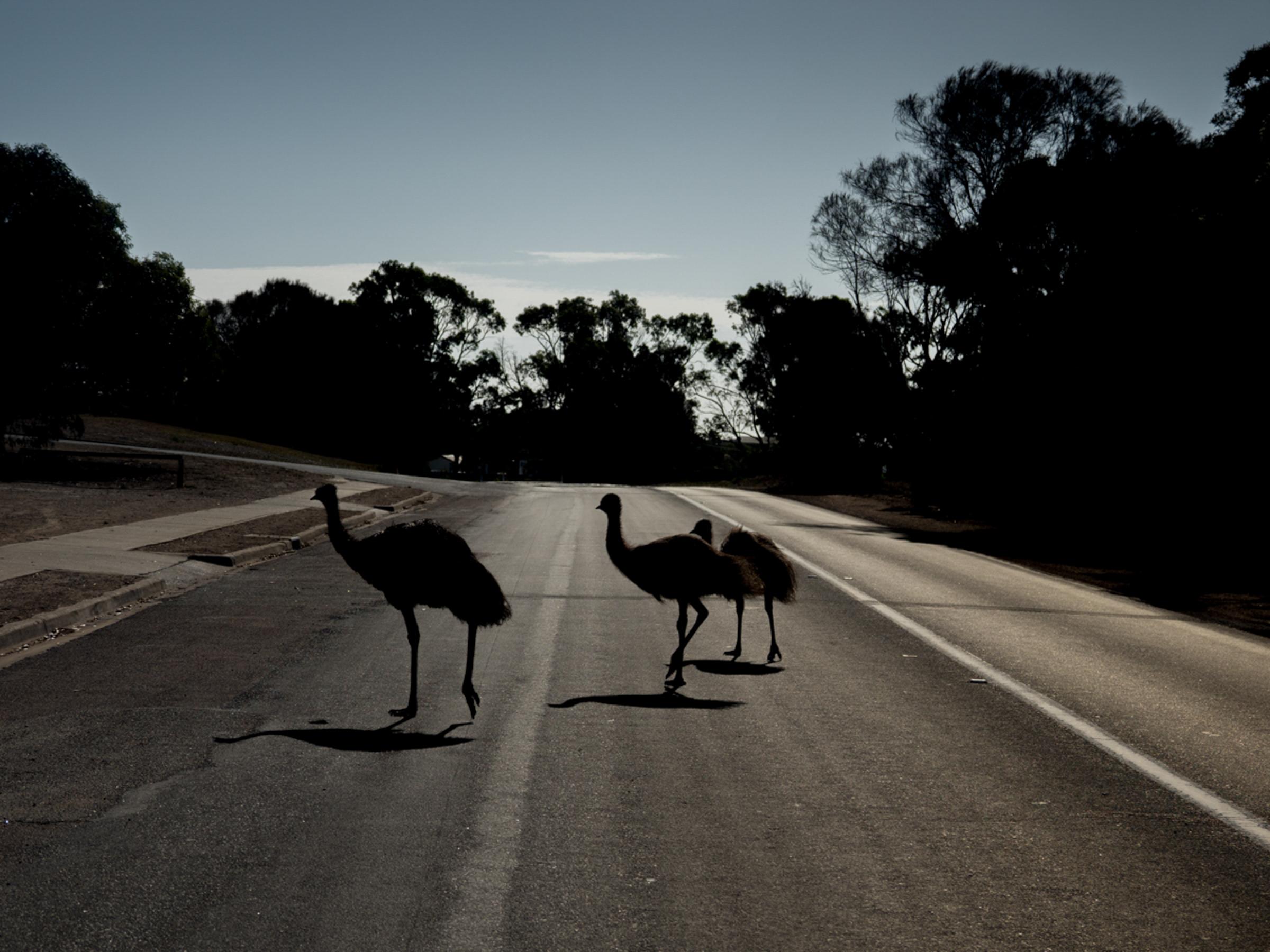 Coffin Bay, emus