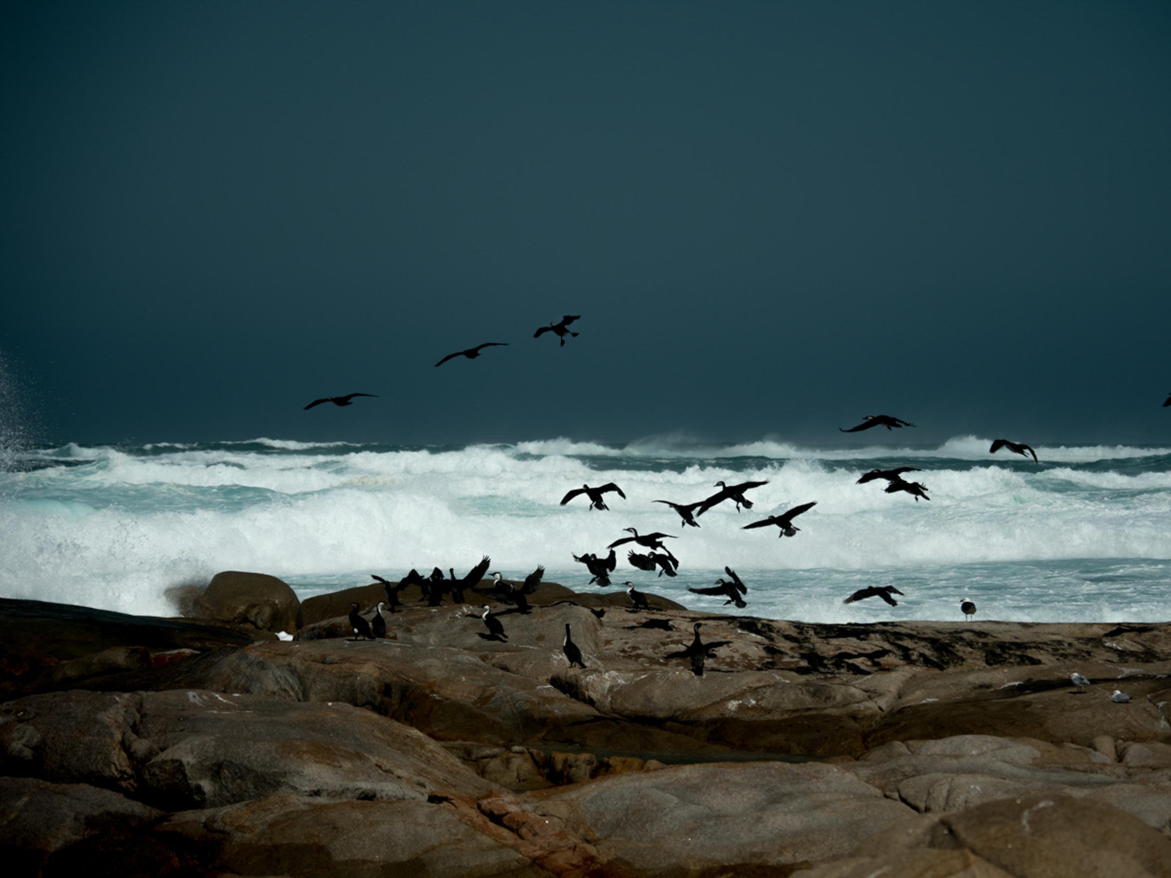 Cormorants taking flight