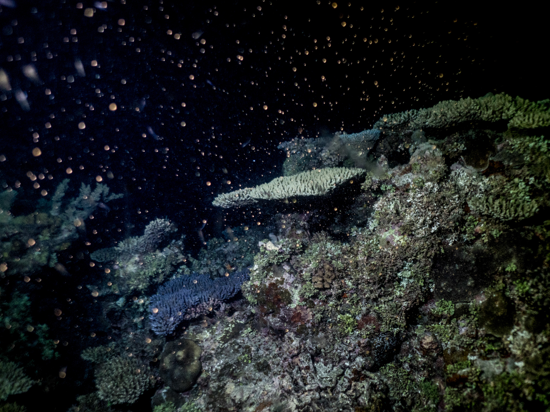 Coral Spawning 2017 on the Great Barrier Reef Michaela Skovranova / Mishku / Olympus Visionary