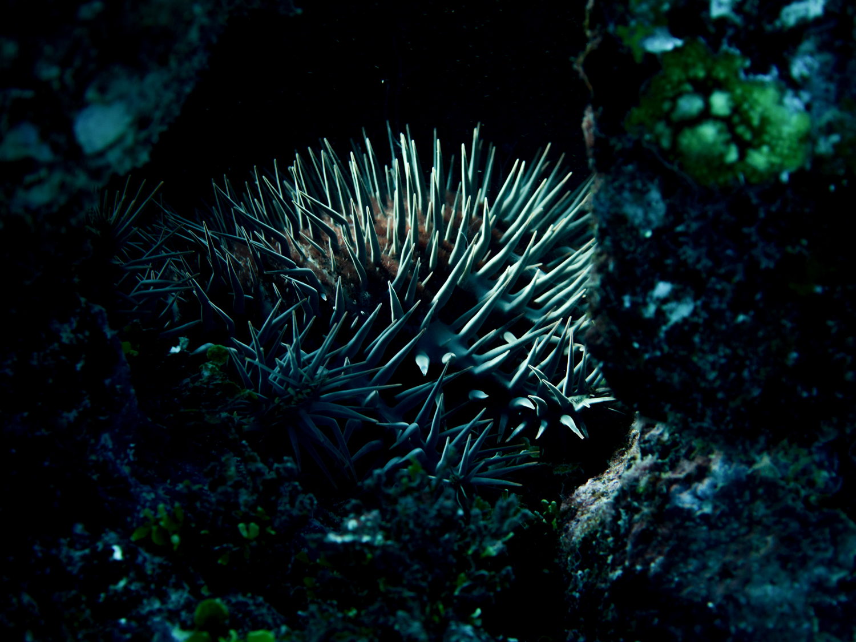 Crown of thorns star fish on the Great Barrier Rref / Michaela Skovranova / Mishku / Olympus Visionary