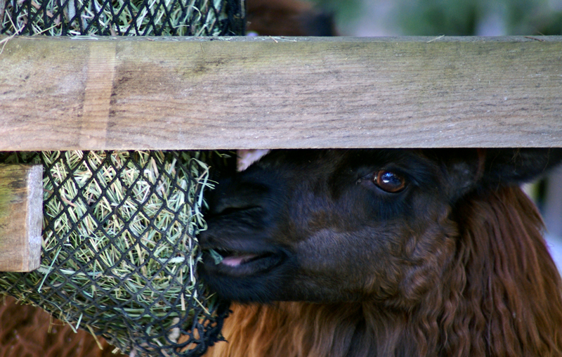 alpaca eating from handy hay net