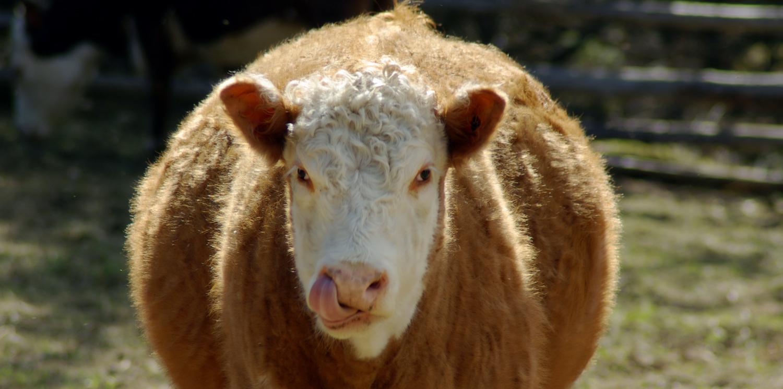 big-fat-cow.jpg
