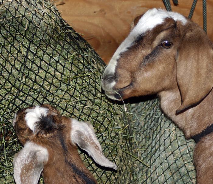 mama-and-baby-goat.jpg