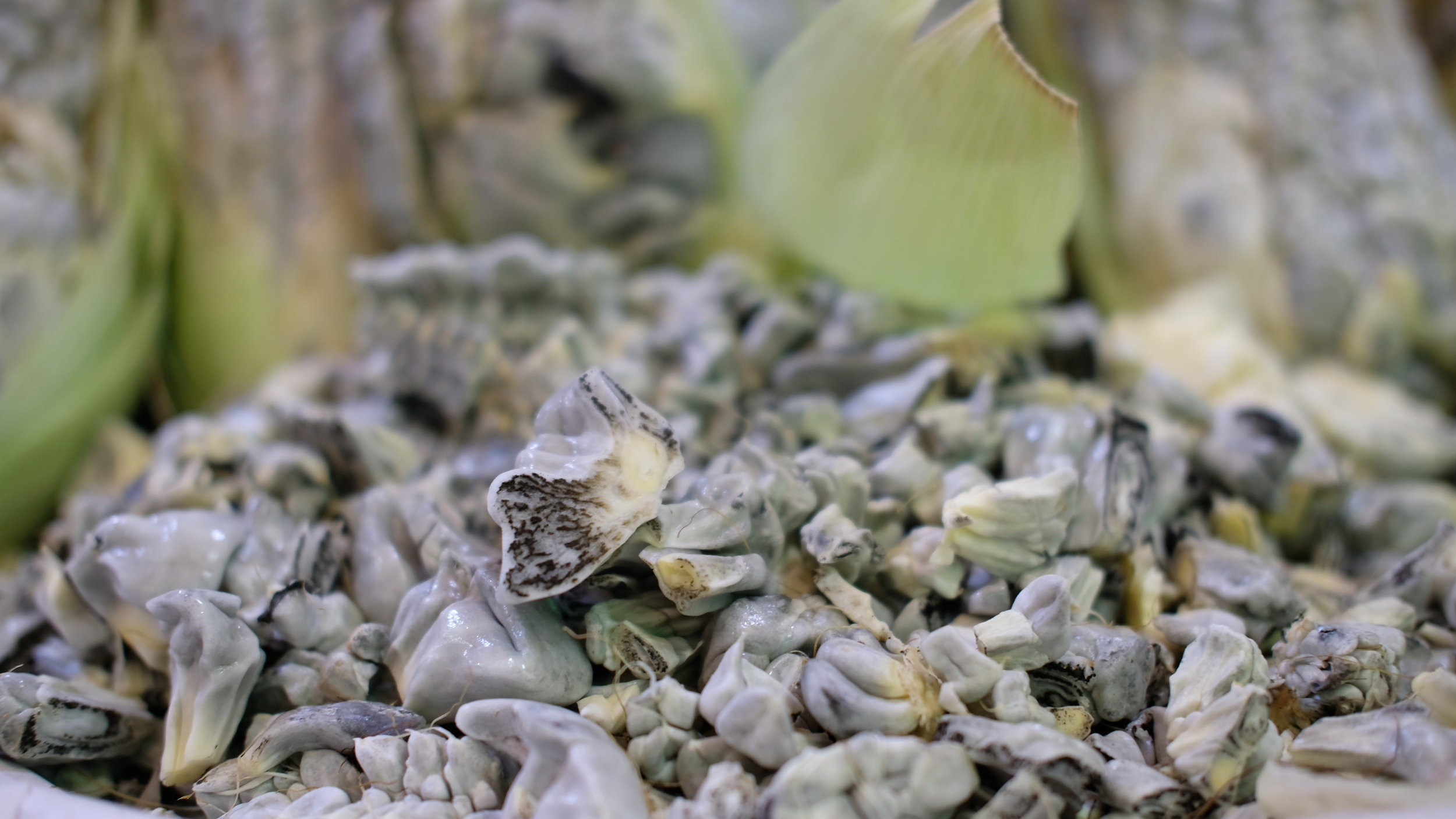 Huitlacoche, a fungus that grows on corn and is considered a delicacy.