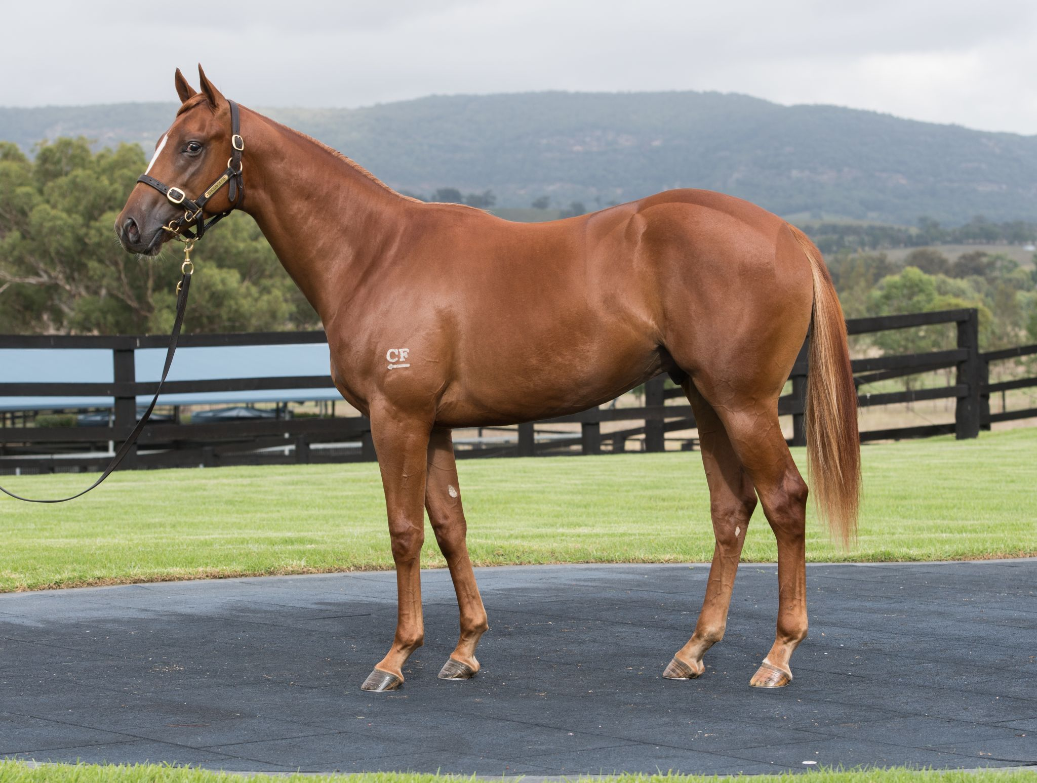 Lot 358: Exceed And Excel x Snowdrift colt - Cressfield Stud