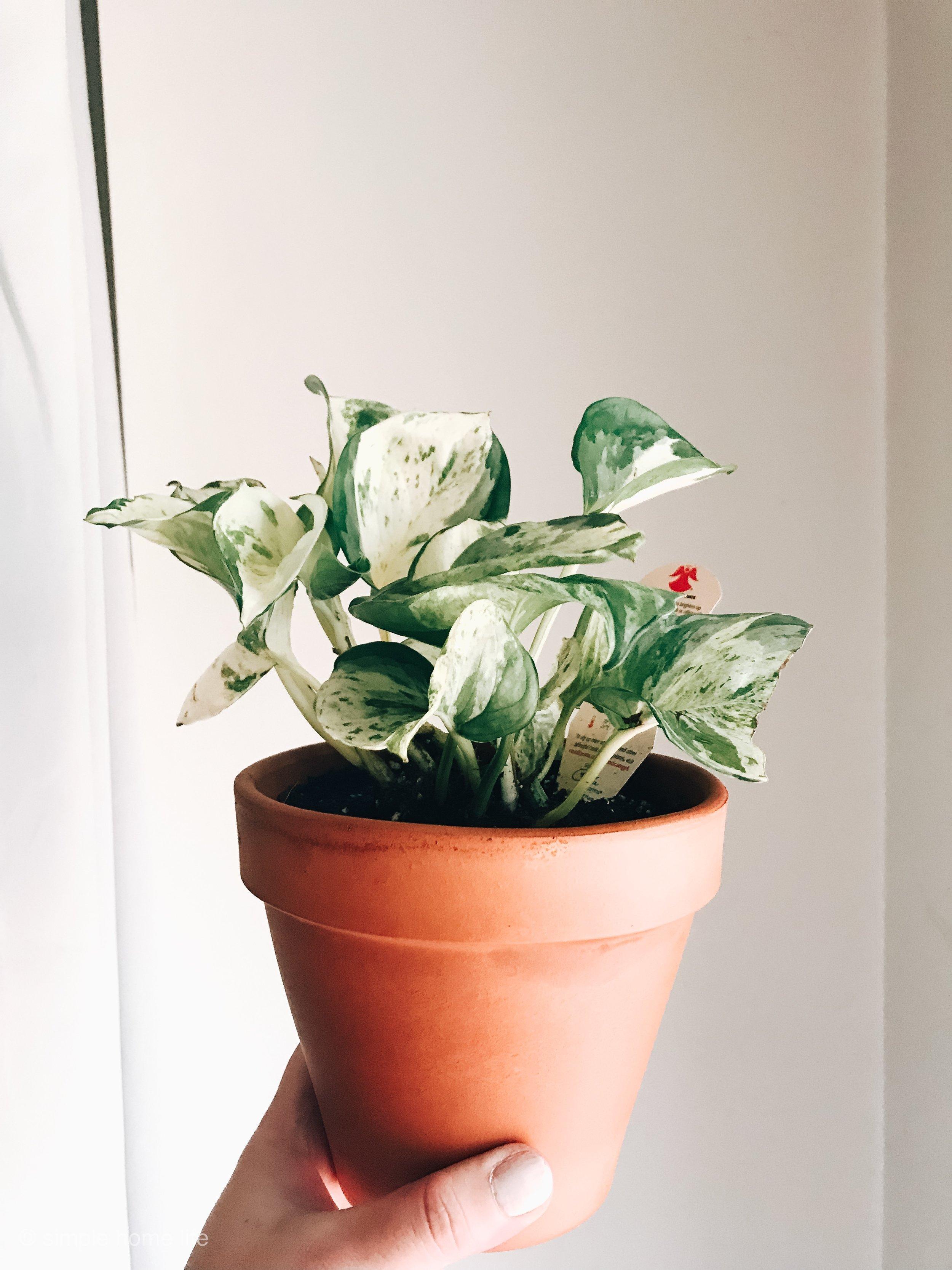 pearlpothos-jade