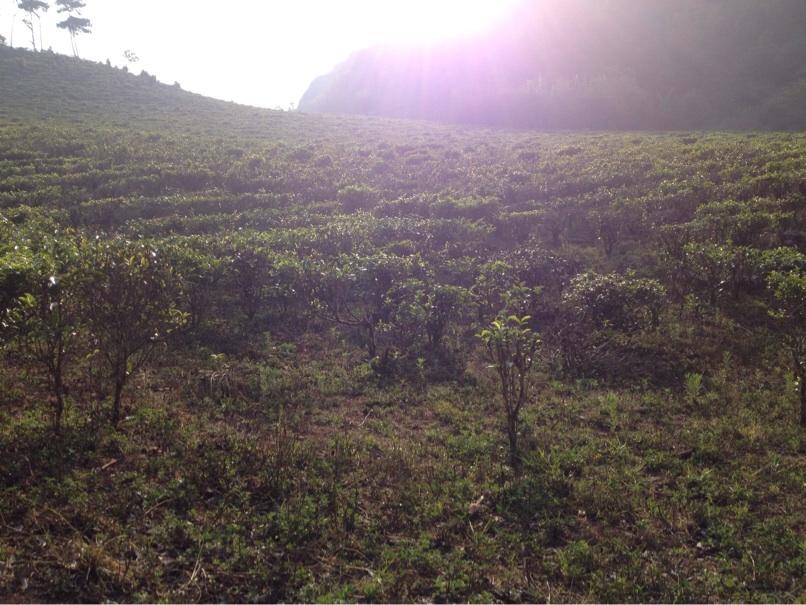 Pu'er tea terraces