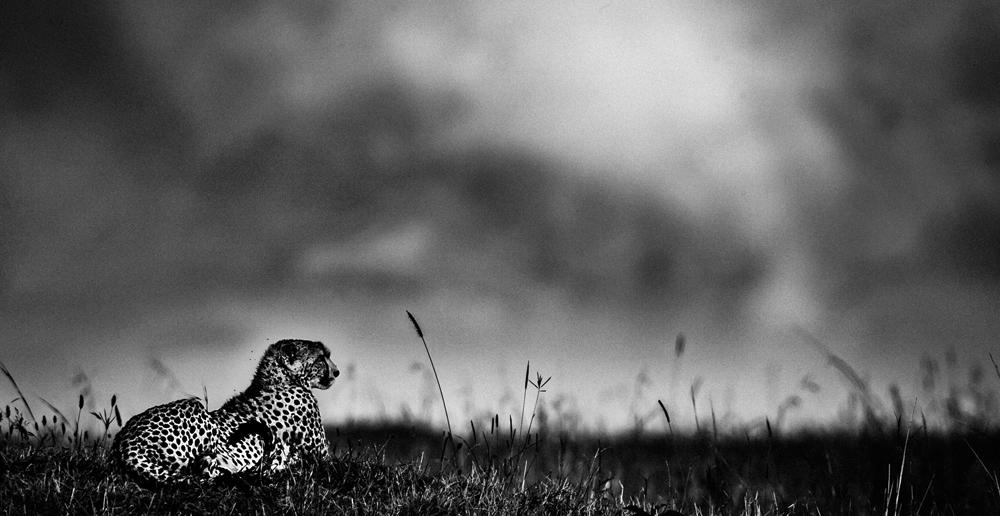 Cheetah, Kenya 2006, Photo © Laurent Baheux, www.laurentbaheux.com
