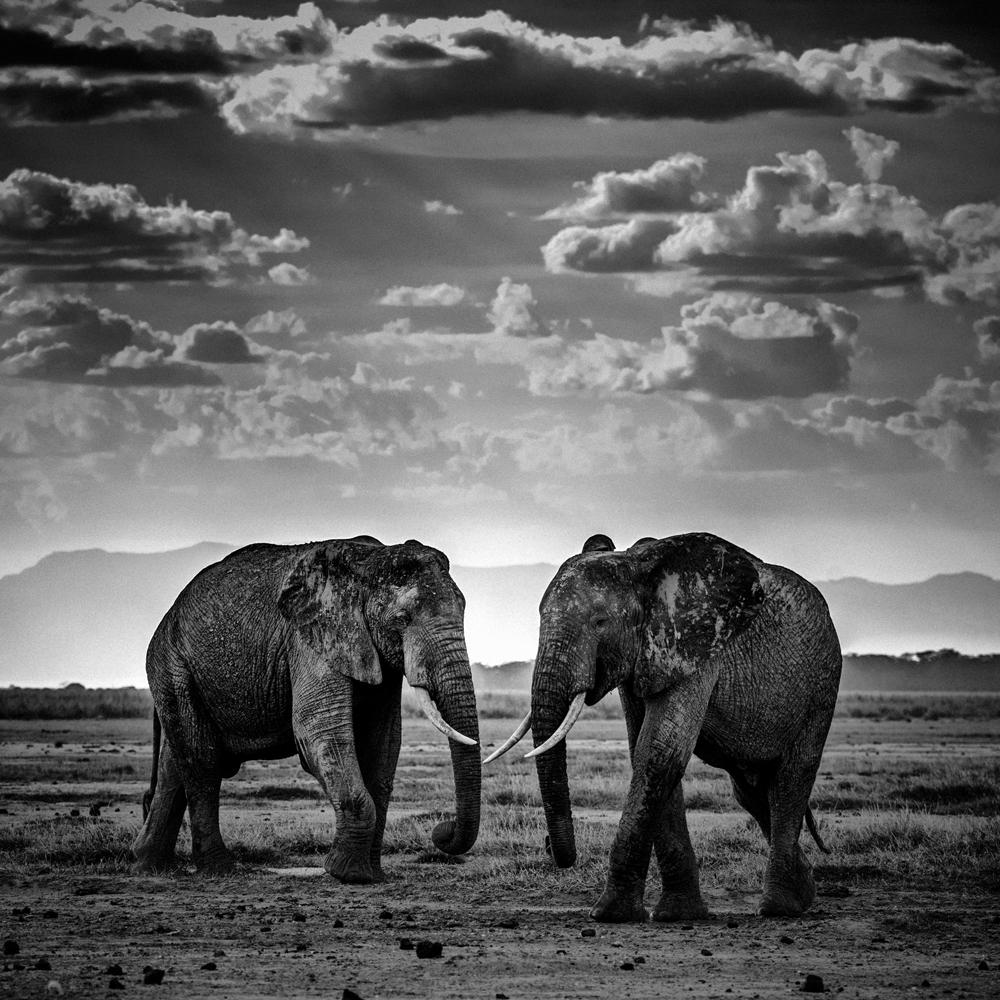 Two elephants, Tanzania 2015   ,   Photo © Laurent Baheux, www.laurentbaheux.com