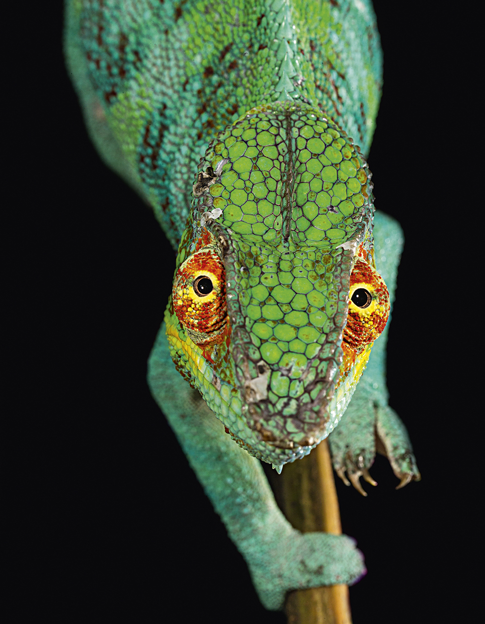 A blue morphotype of panther chameleon (Furcifer pardalis) endemic to the area around Ambanja, Madagascar. It is very rare in the wild due to collecting for the exotic pet trade  Photo © 2017 Christian Ziegler. All rights reserved. www.christianziegler.photography