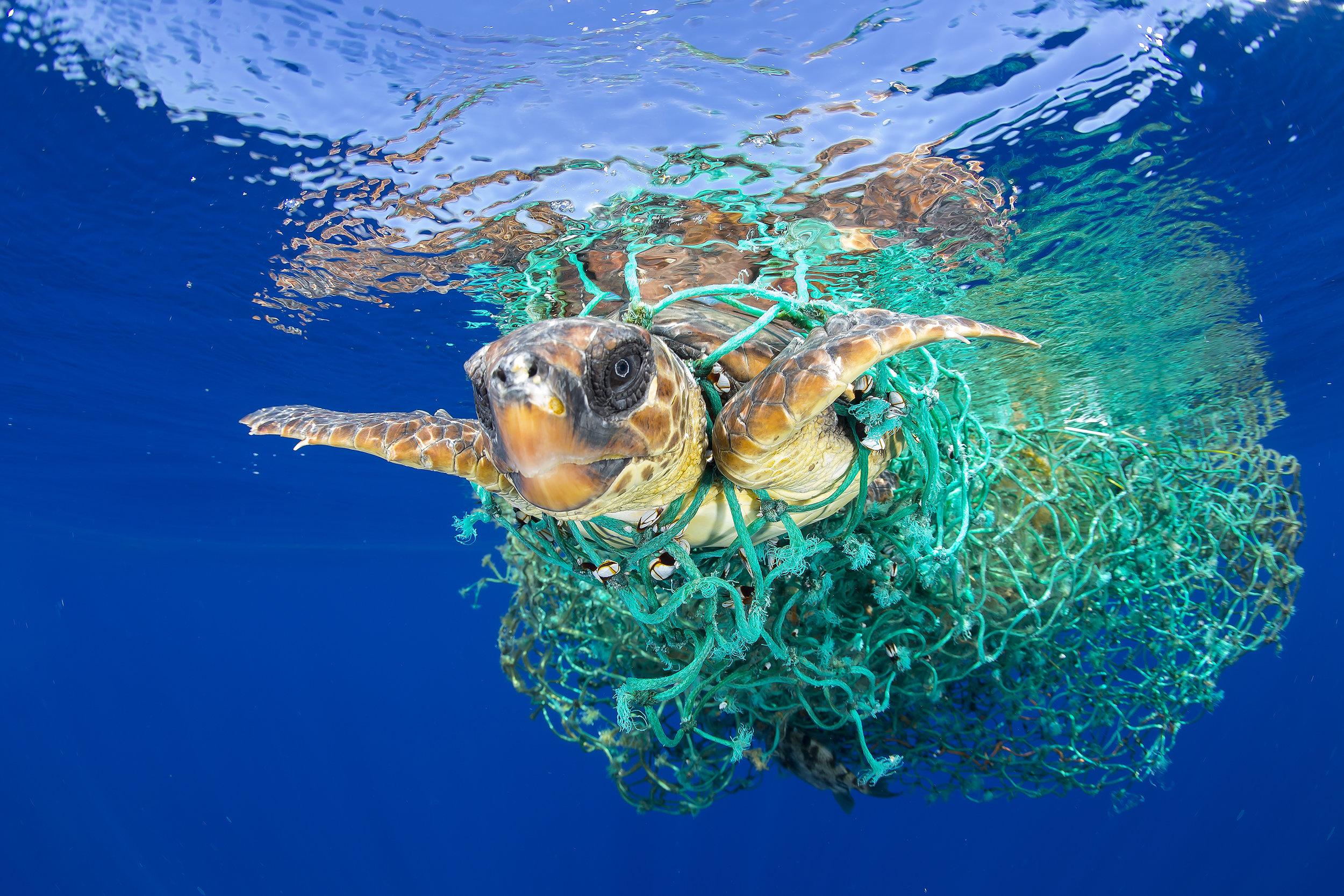 © Francis Pérez  Titel: Meeresschildkröte in der Falle