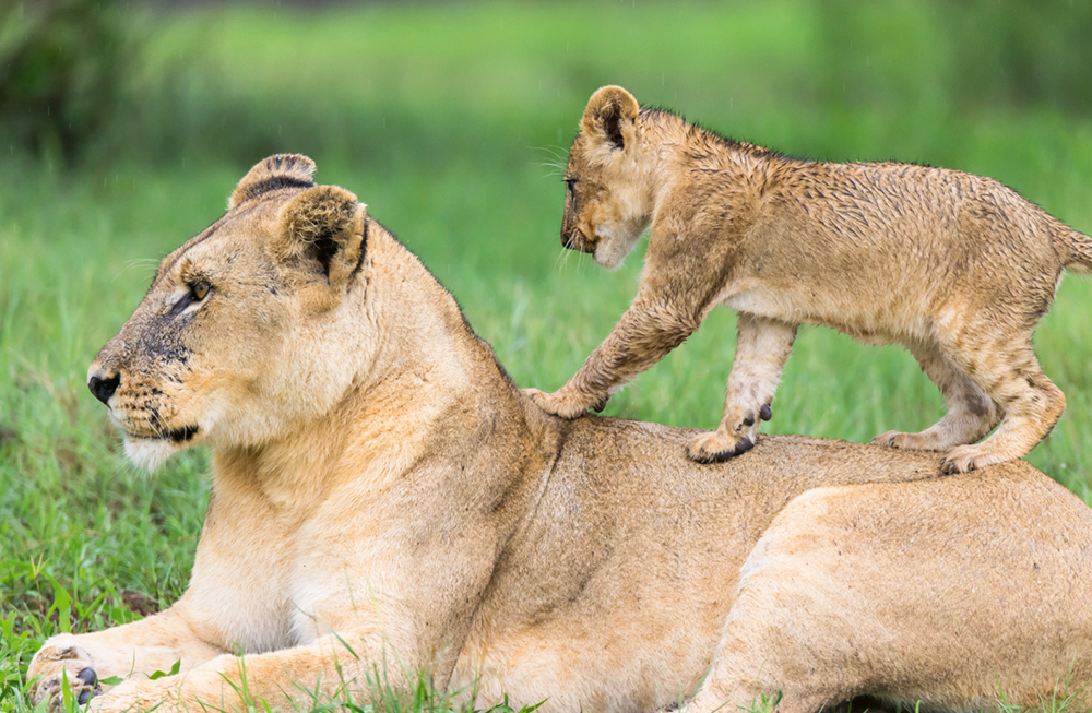 Walk on Mother's back, Lions, Mombo,  Okavango Delta, Botswana  Photo © 2018 Michael Poliza. All rights reserved. www.michaelpoliza.com