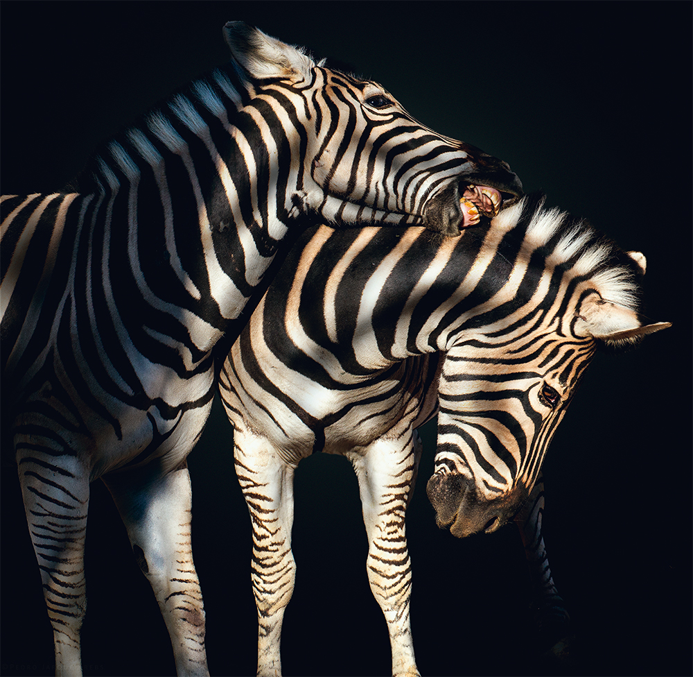 Zebra  Photo © Pedro Jarque Krebs. All rights reserved.