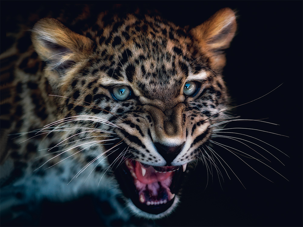 Leopard  Photo © Pedro Jarque Krebs. All rights reserved.