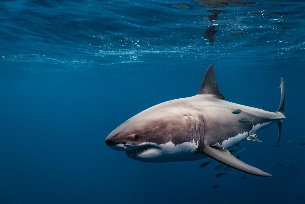 Giganten der Meere, Held: Pelagic Life und Pelagic Fleet, Der Weiße Hai ist wohl die gefürchtetste Kreatur in unseren Weltmeeren  Photo © 2019 York Hovest. Alle Rechte vorbehalten.