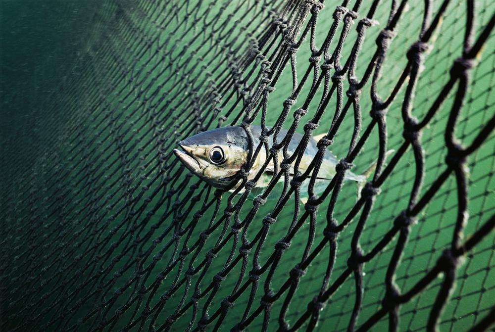Piraten zum Schutz unserer Ozeane, Helden: Sea Shepherd - Aktivisten, Ein Thunfisch steckt mit seinem Kopf in den Maschen des riesigen Netzes fest  Photo © 2019 York Hovest. Alle Rechte vorbehalten.