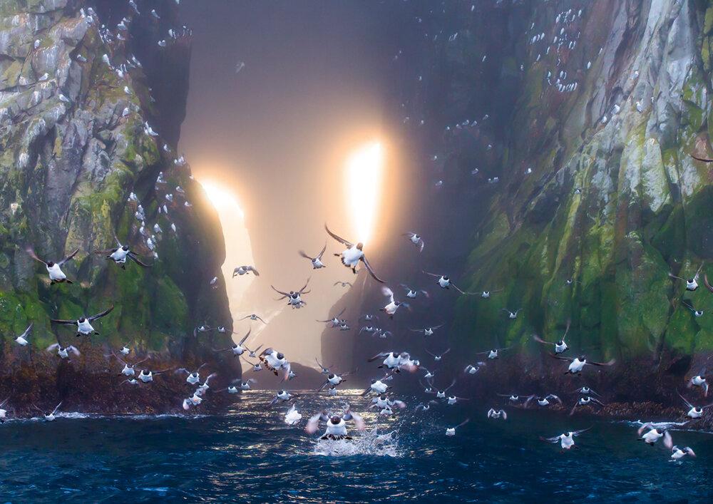Die entlegenen Kurilen südlich der Kamtschatka-Halbinsel. Dickschnabellummen fliegen aus einer kathedralenartigen Schlucht, während hinter ihnen die Sonne untergeht   Photo © 2019 Michael Poliza. All rights reserved.  www.michaelpoliza.com ,  www.michaelpolizatravel.com