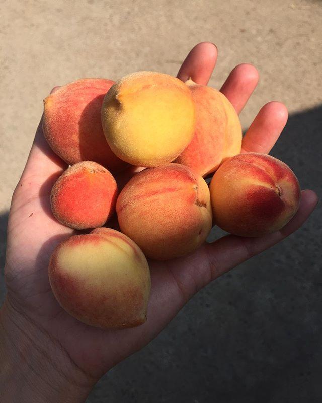 Backyard peaches 🍑