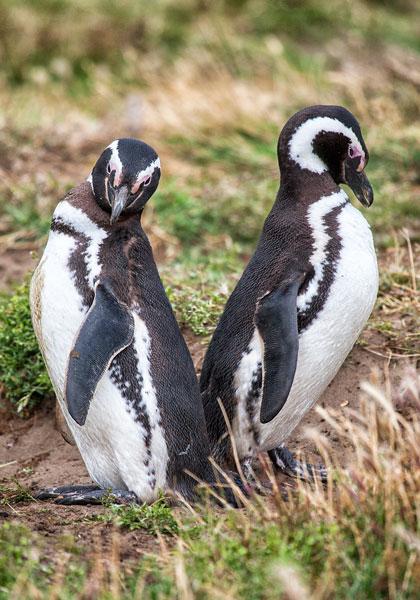 Magellanic Penguins Punta Arenas