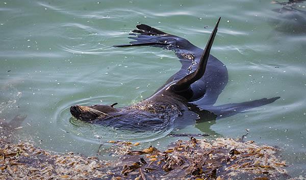 Basking Sealion Omarau NZ