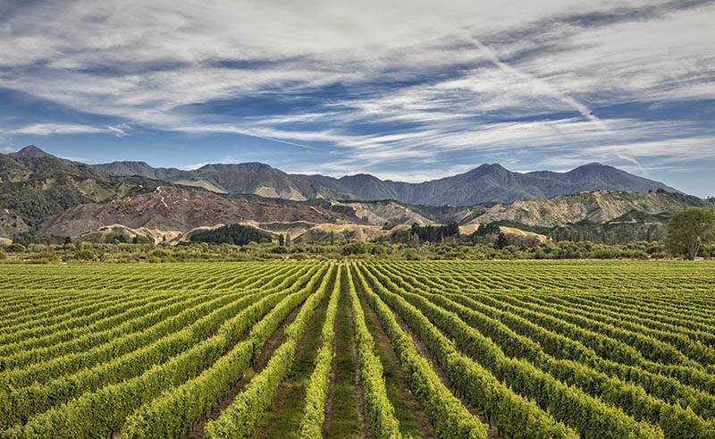 Vineyard near Blenheim S.I NZ